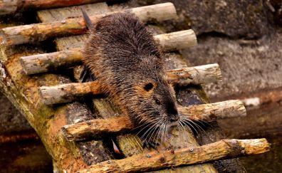 Rat, rodent, animal