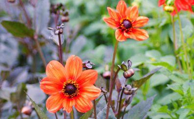 Geroginy flowers