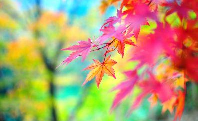 Maple leaves, fall