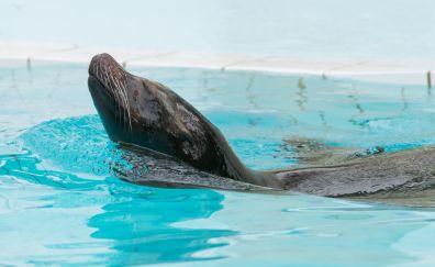 Fur seal swimming in pool