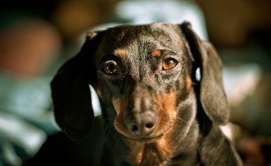 Cute Dachshund dog muzzle