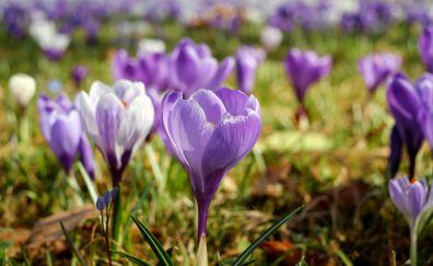 Meadow, crocus flower, purple