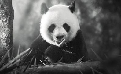 Panda animal monochrome