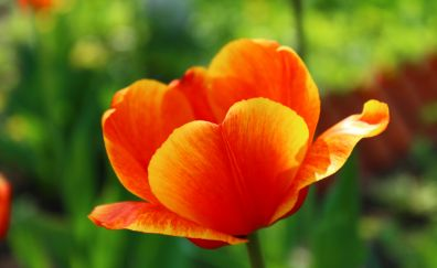 Tulip, red orange flower, close up