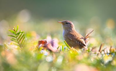 Wren, bird, tree branch, blur
