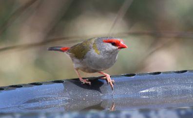 Finch, Red bird, drinking water, cute
