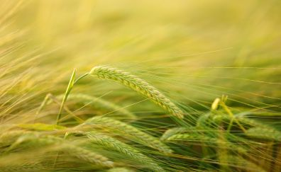 Wheat threads, grass