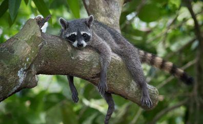 Raccoon, relaxing, tree branch
