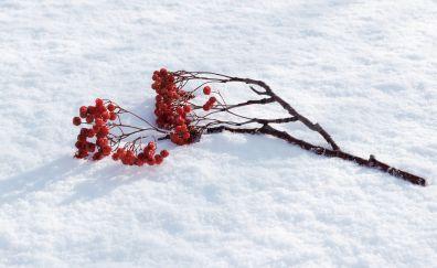Cherry, winter, fruits, tree branch