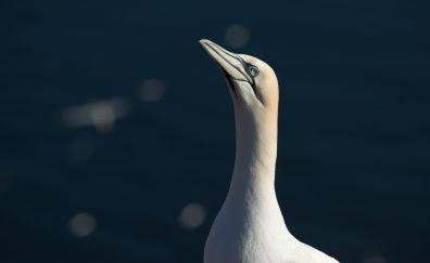 Northern gannet, muzzle, bird