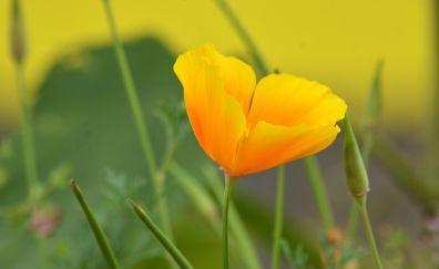 Yellow flower poppy, blossom
