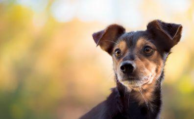 Dog, puppy muzzle, pet animal