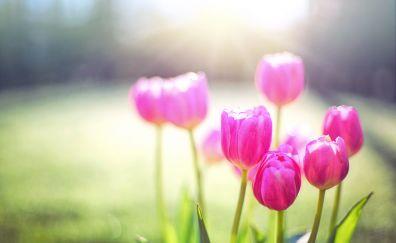 Tulips, pink flowers, spring, flowers