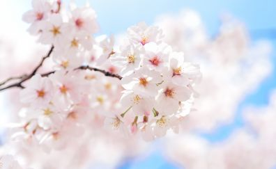 Japan, cherry flower, blossom