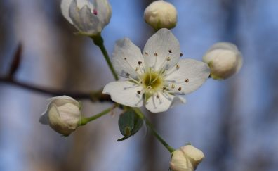 Wild cherry blossom, white flower