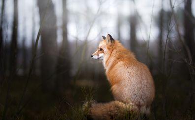 Wild animal, furry red fox