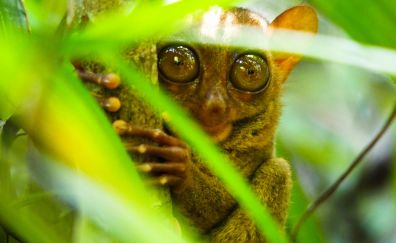 Philippine Tarsier, animal, eyes