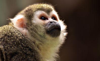 Cute monkey, black eyes, head