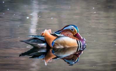 Mandarin duck, colorful bird, reflections, swim, lake