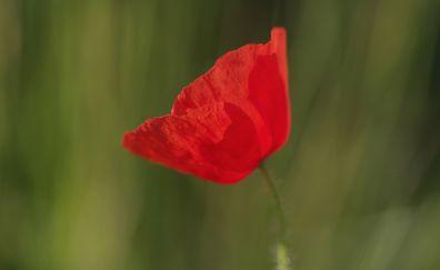 Poppy red flower, blur, single