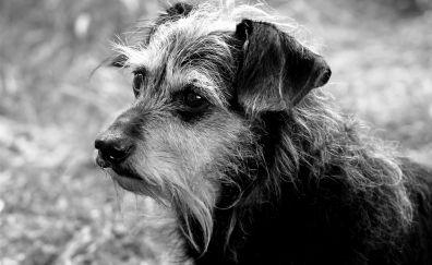 Dachshund dog muzzle, monochrome