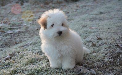 Puppy, Coton de Tulear, white dog, pet