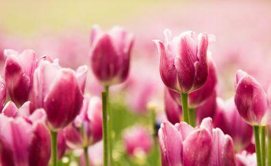 Beautiful pink tulip flowers, close up