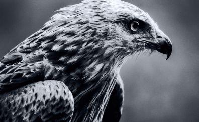 Bird, eagle, predator, muzzle, monochrome