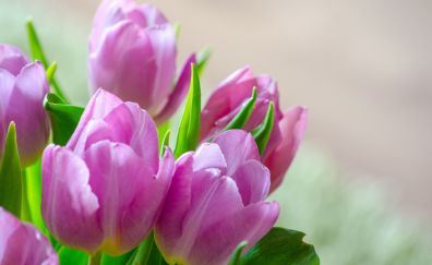 Spring, blossom, pink tulip flowers