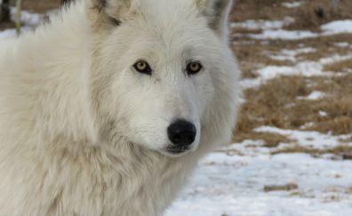 Arctic white wolf animal