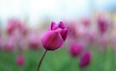 Pink tulip bud, flower, blur