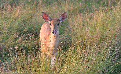 White-tailed deer, wild animal, meadow