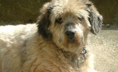 Furry Poodle dog, pet animal