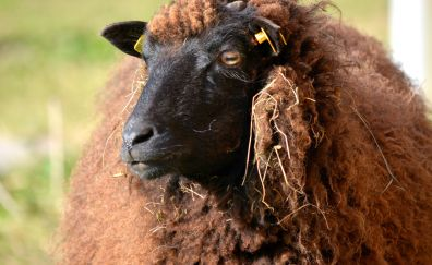 Sheep animal muzzle, domestic