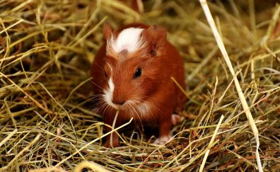 Guinea pig, rodent, cute, small animal