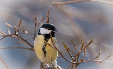 Tit bird, cute birds, sitting, tree branch