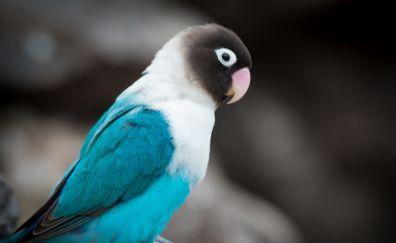 Blue Lovebird Parrot, sitting