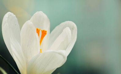 Crocus, white flower, blossom