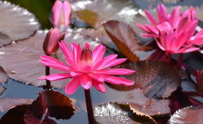 Waterlilies flowers, pink flowers