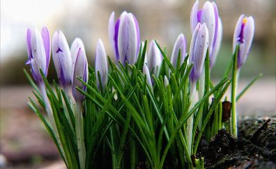 Crocus flower, bud, spring, close up