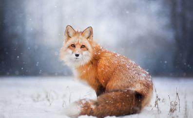 Red fox, stare, winter, snow, wildlife