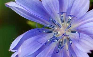 Blue chicory flower, pollen, close up
