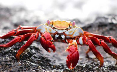 Crab, water animal