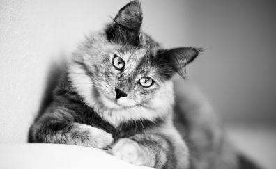 Cat, star, sitting, monochrome