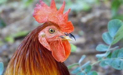 Rooster, chicken, red, muzzle