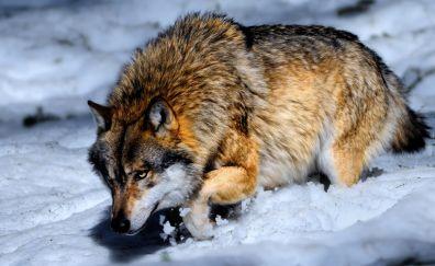 Snow wolf wild animal