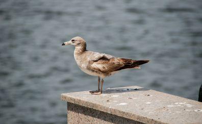 Seagull, bird sea, bird