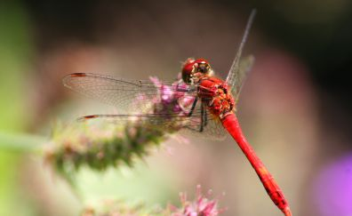 Red dragonfly, wings, close up