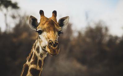 Giraffe, wildlife, cute, head