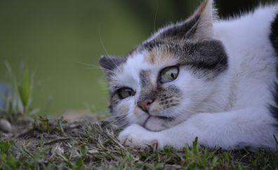 Cat lurking, white, cat animal